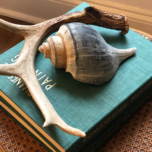 Large Florida Whelk