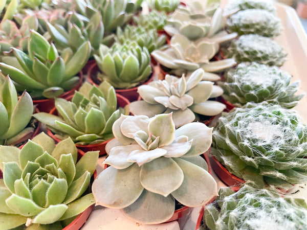 "2"" Assorted Succulents"