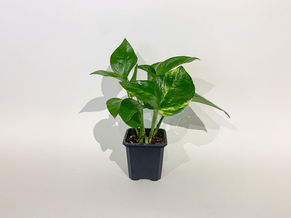 "3"" Pothos Golden"