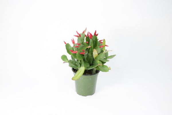 "4"" Holiday Cactus"