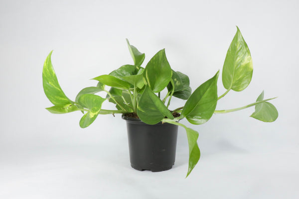 "4"" Pothos 'Golden'"