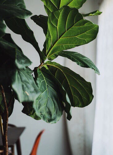 How to Grow Indoor Fiddle Leaf Fig Tree - Ficus Lyrata
