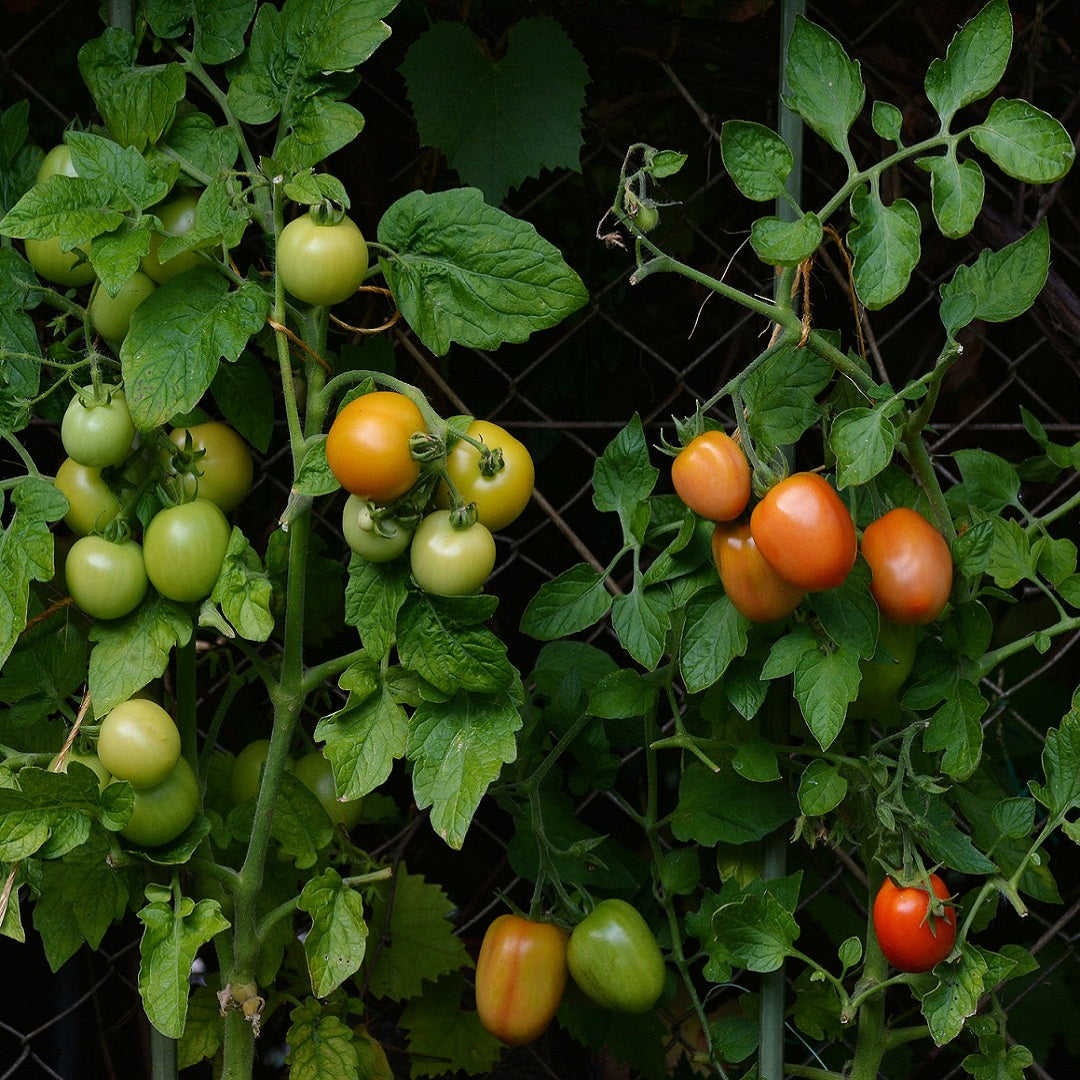 Best way to prevent Tomato fungal diseases