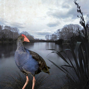 'Pukeko Pond' Black Box Print by Clive Collins