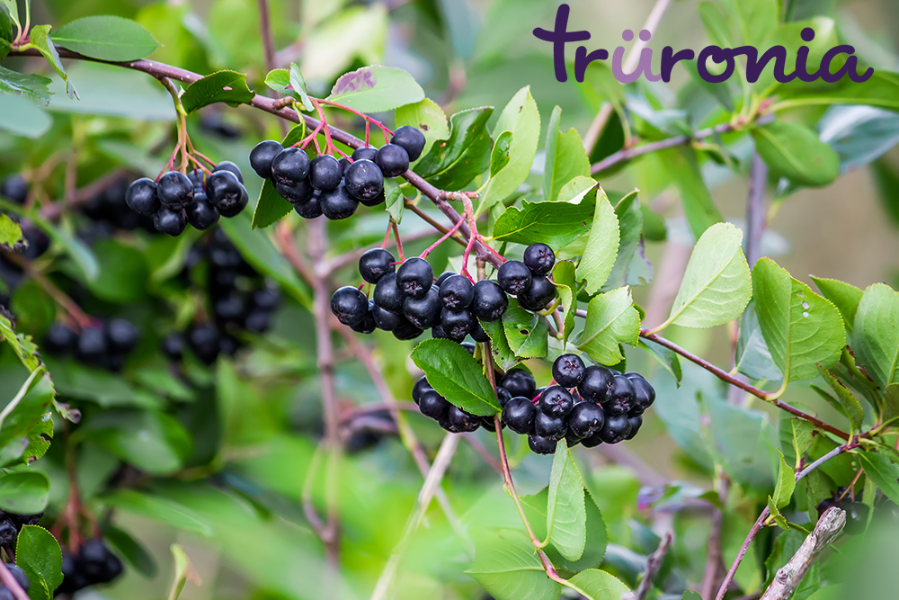 How Our Aronia Berries are Harvested