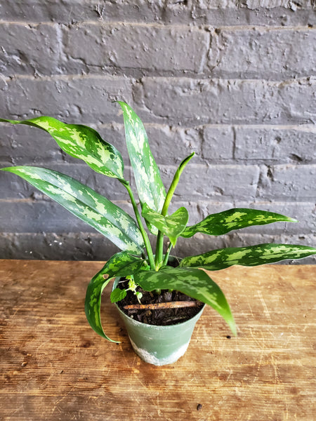 Just an Chinese Evergreen