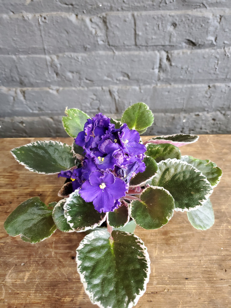 Just a n African Violet