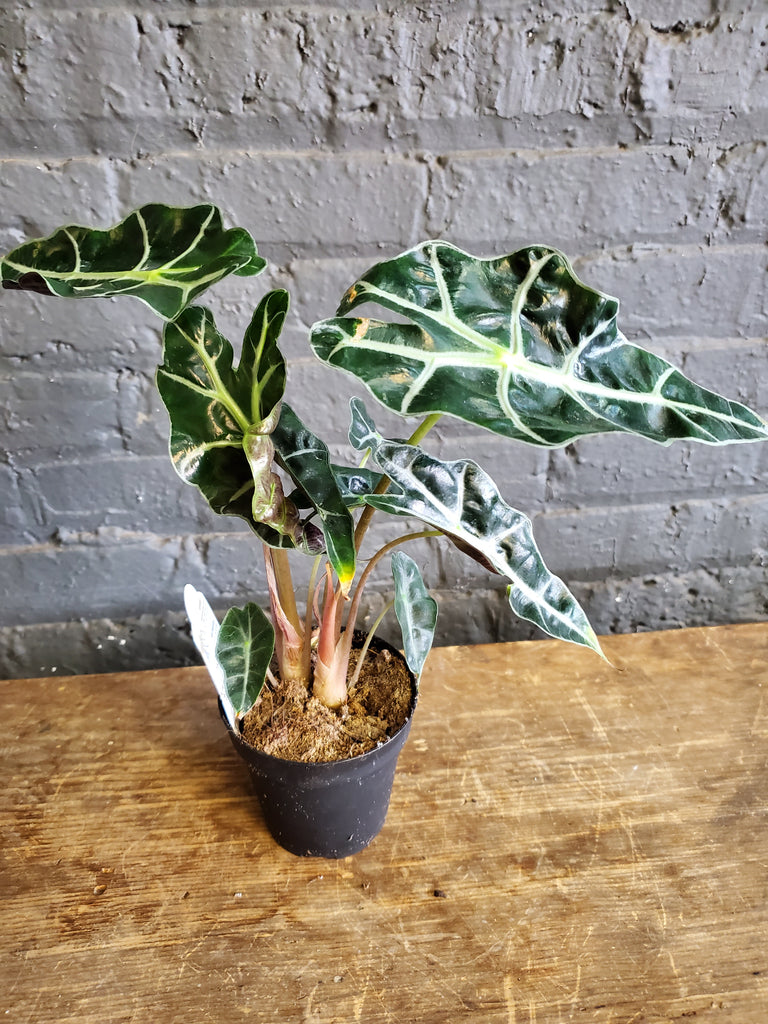 Just an Alocasia