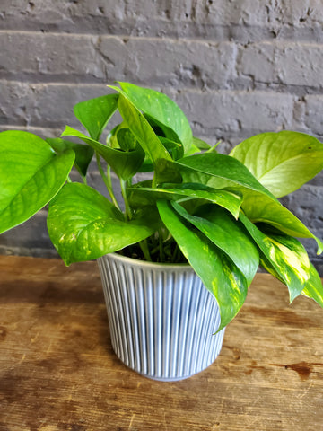"Pothos in SK ""Delphi"" pot cover"