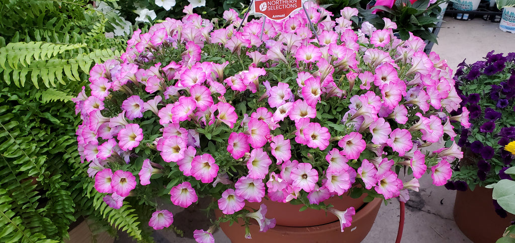 Calibrachoa hanging basket