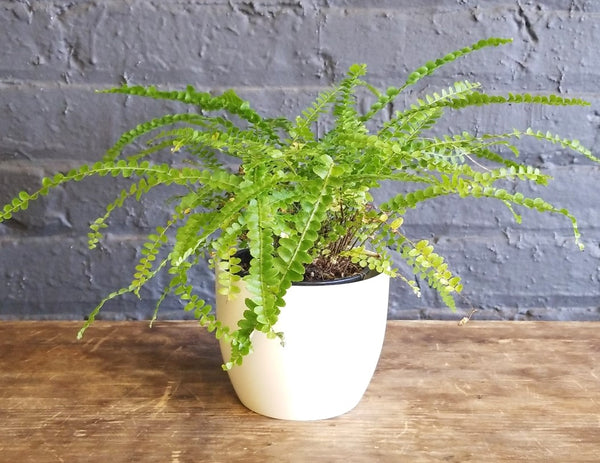 "Fern in a SK ""Basel"" pot cover"