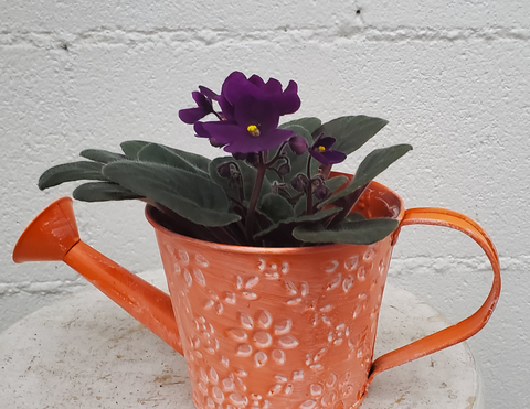 African violet in watering can