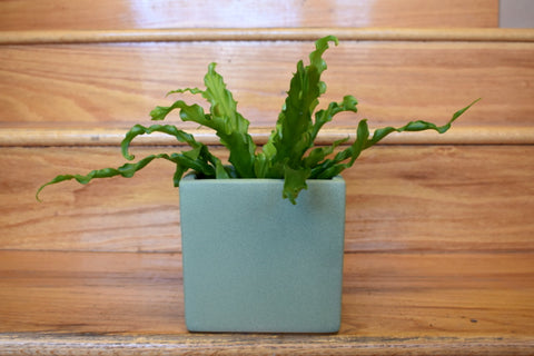 Bird's nest fern in SK cube pot cover