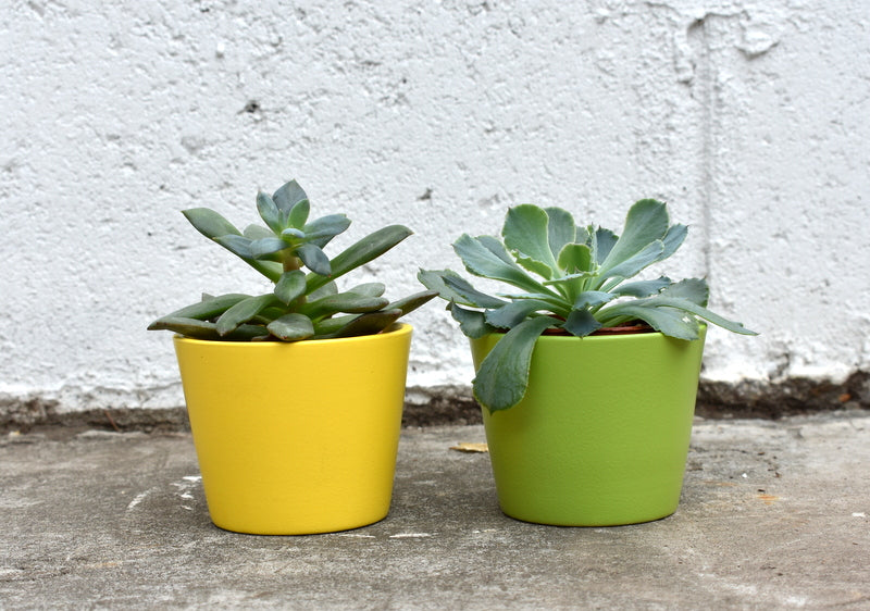 "Pair of two inch succulents in SK ""Dallas"" pot cover"