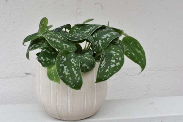 "Scindapsus in a SK ""Rondo "" pot cover"