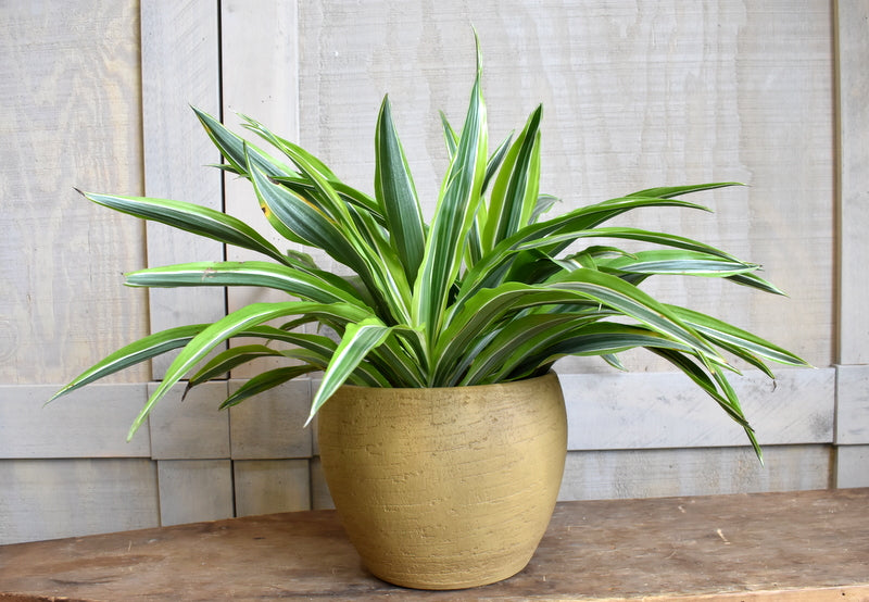 "Dracaena warneckii in a SK ""Portofino"" pot cover"