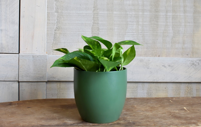 "Pothos in a SK ""Basel"" pot cover"