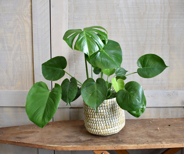 "Split- leaf philodendron in an Accent Decor ""Tejida"" basket"