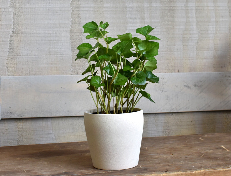 "English ivy plant in a SK ""Messina"" pot cover"