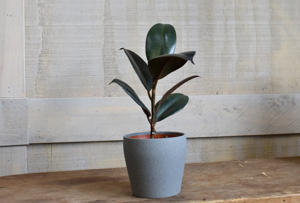 "Rubber tree in a SK ""Messina"" pot cover"