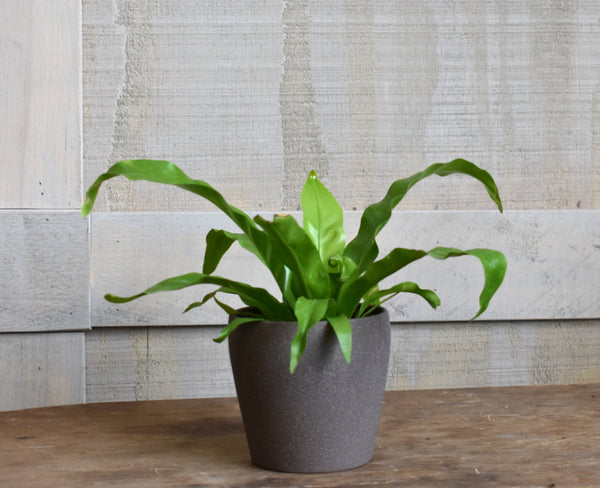 "Bird's nest fern in a SK ""Messina"" pot cover"