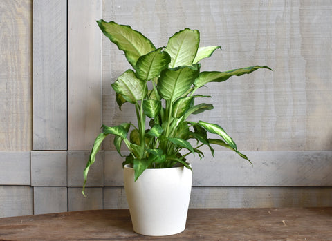 "Dieffenbachia in a SK ""Messina"" pot cover"