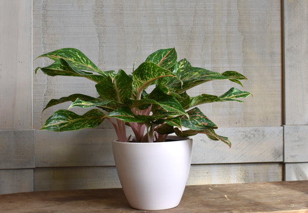 "Chinese evergreen in a SK ""Limoges"" pot cover"