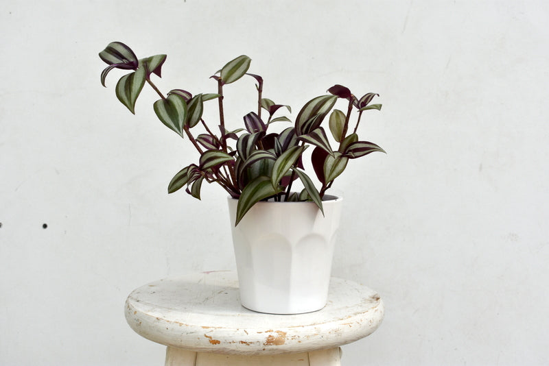 "Wandering Jew in SK ""Picardie"" pot cover"