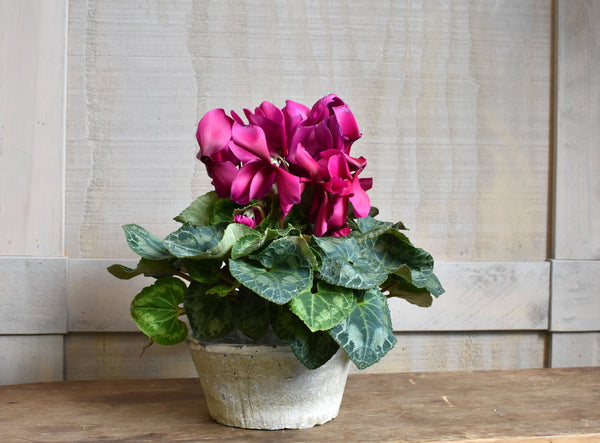 Cyclamen in antique white bowl