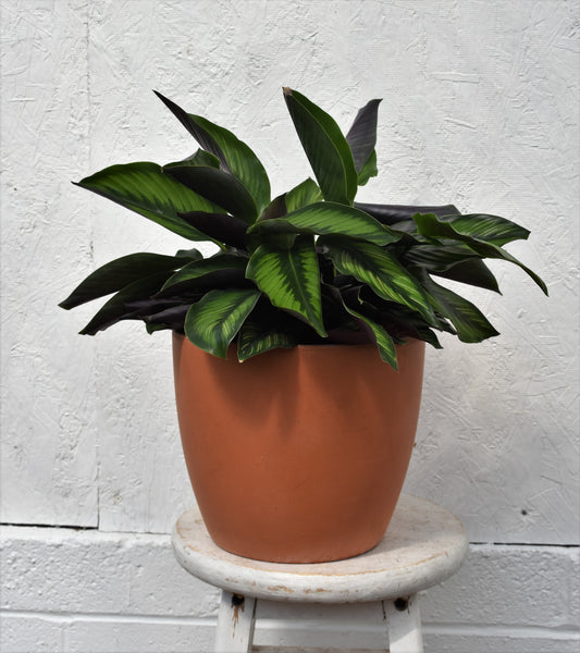 "Calaetha in a SK ""Las Palmas"" pot cover"