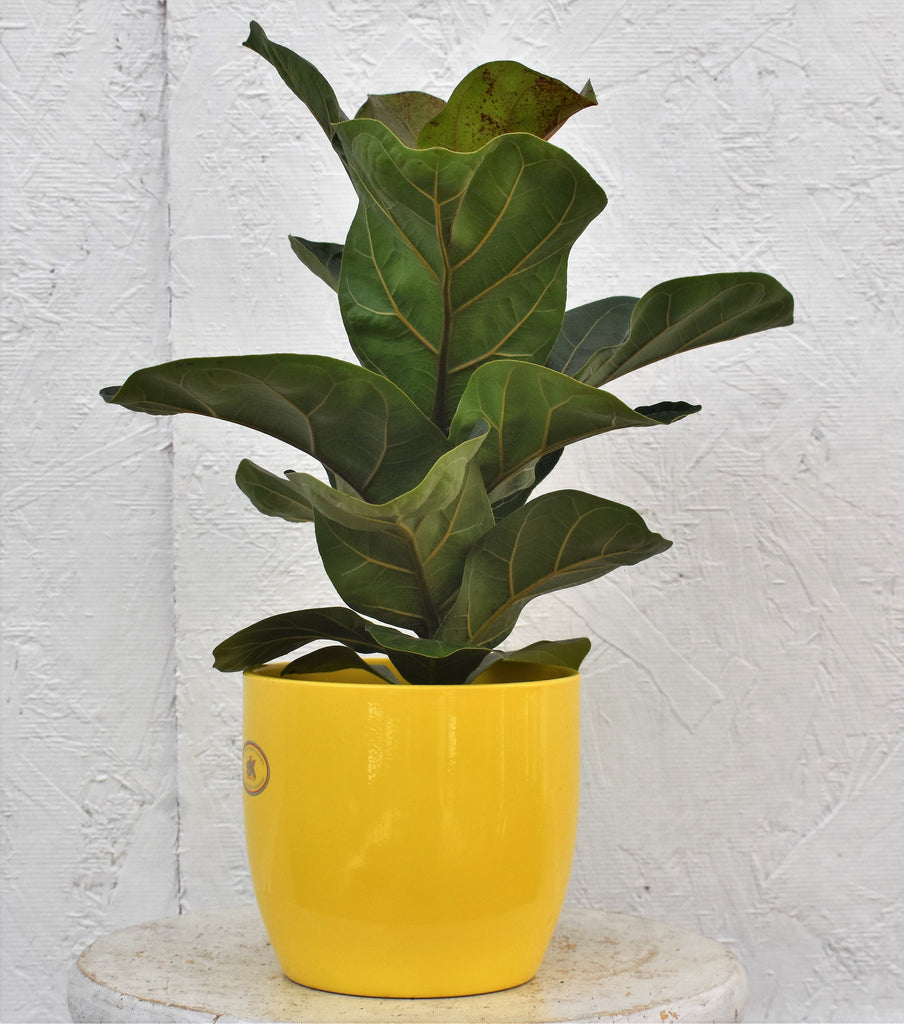 "Fiddle leaf fig in a SK ""Basel"" pot cover"