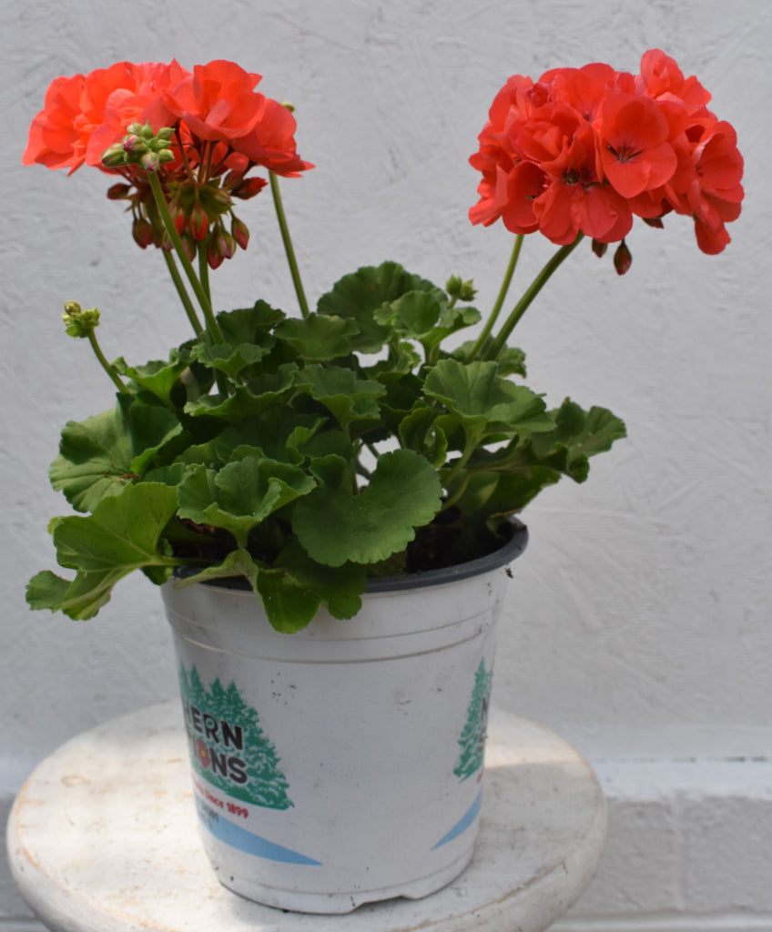 Geranium in a six inch pot
