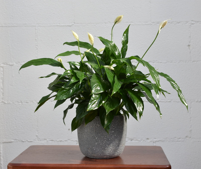 "Peace lily in SK ""Bettona"" pot cover"