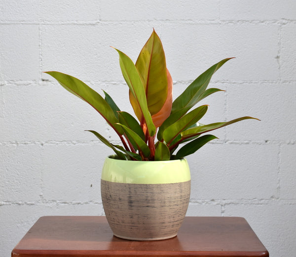 "Philodendron in SK ""Alberta"" pot cover"