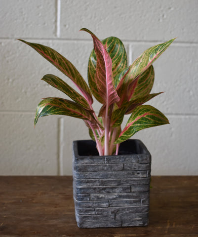 "Chinese evergreen in a SK ""Latina Stonewall"" pot cover"