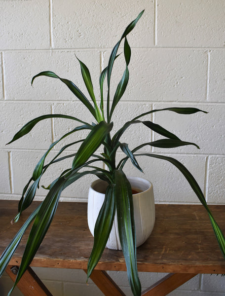 "Dracaena in a SK ""Rondo"" pot cover"