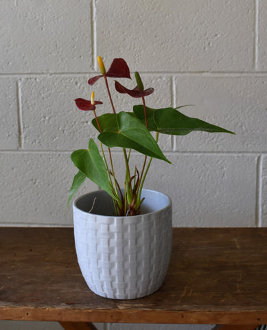 "Anthurium in a SK ""Kiruna"" pot cover"