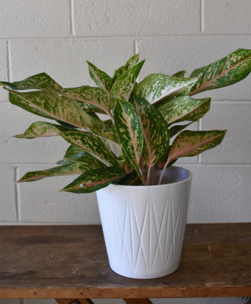 "Chinese evergreen in a SK ""Visby"" pot cover"