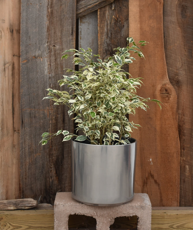 "Ficus benjamina in SK ""Las Vegas"" pot cover"