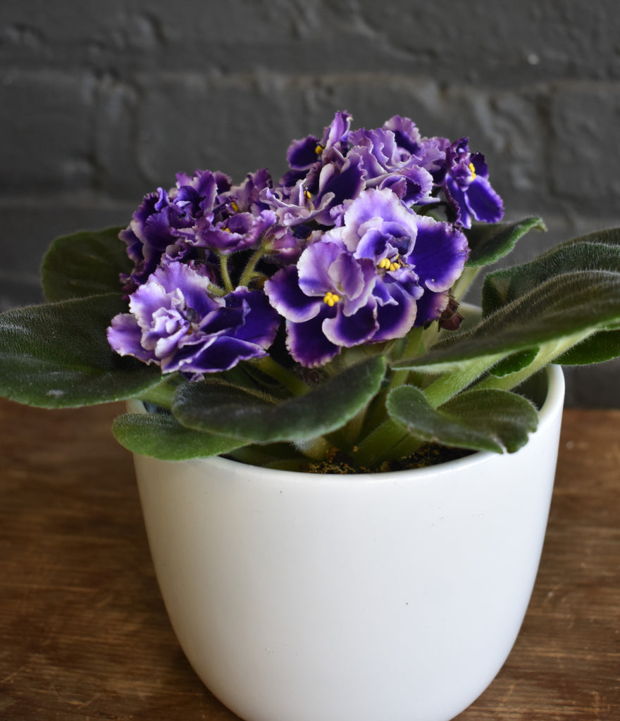 "African violet in a SK ""Sevilla"" pot cover"