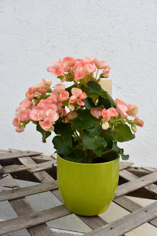 Begonia in four inch a SK pot cover