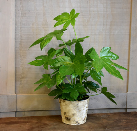Fatsia in birch bark pot cover