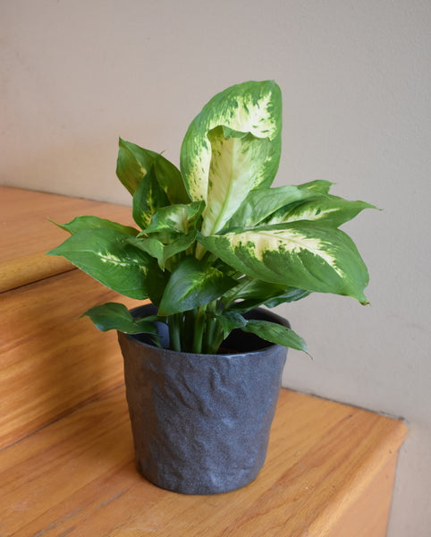 Dieffenbachia in SK Mayen pot cover