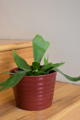 "Staghorn fern in SK ""Kopenhagen"" pot cover"