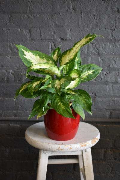 "Dieffenbachia in a SK ""Basel"" pot cover"