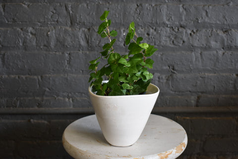 "English Ivy in a SK ""Treviso"" pot cover"