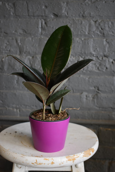 "Rubber tree in SK ""Dallas"" pot cover"