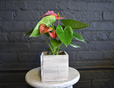Anthurium in an Accent Decor wooden box pot cover