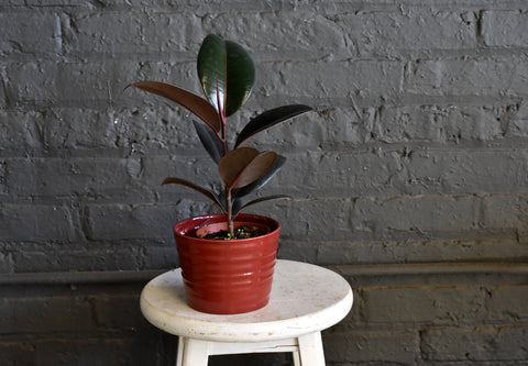 "Rubber tree in a SK ""Kopenhagen"" pot cover"