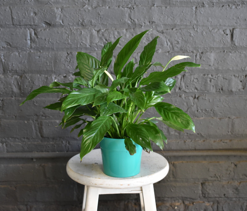 "Peace lily in SK ""Olymp"" pot cover"